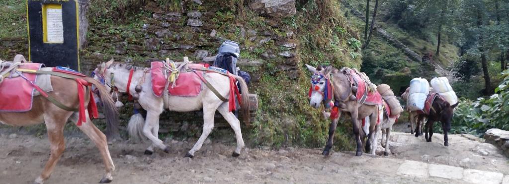 hier sieht man Mulis am Annapurna