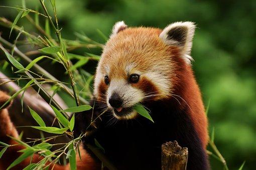 TV-Tipp: heute im ORF2: Im Reich des Roten Pandas