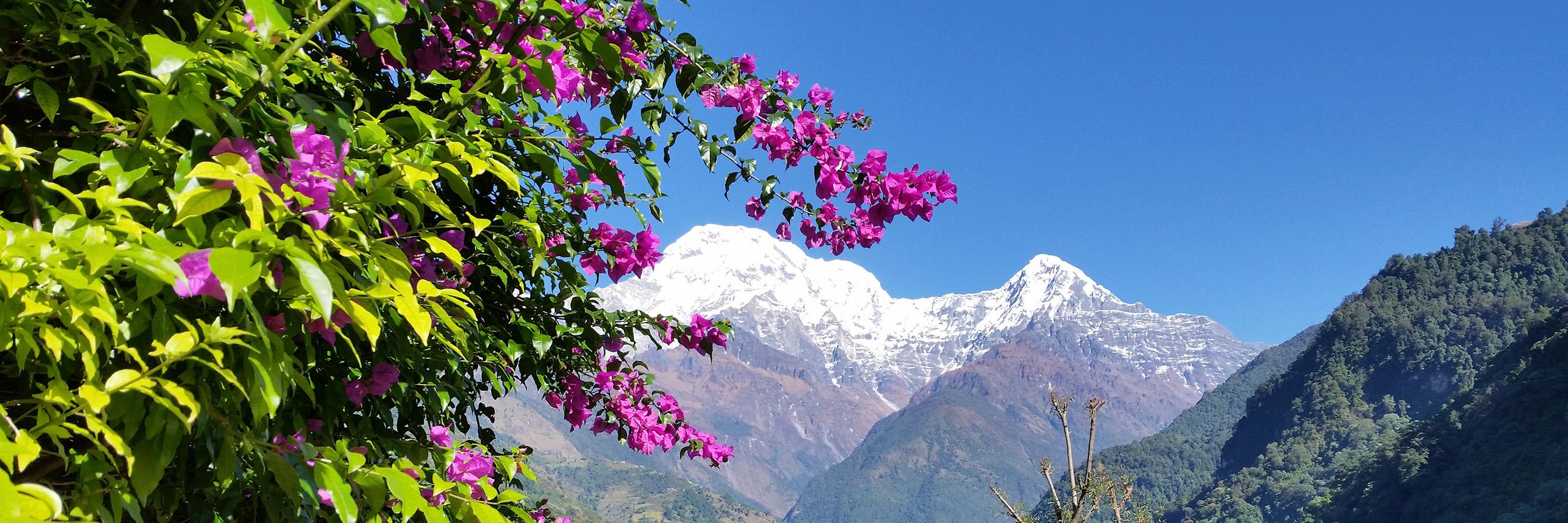 wild wachsende Bougainvilea auf dem Annapurna Trek